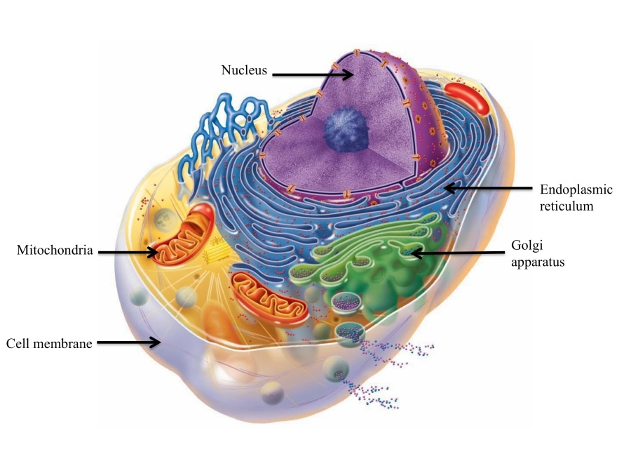 Overview of the cell interior
