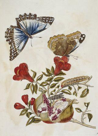 Butterfly_and_Caterpillar_-_Metamorphosis_insectorum_surinamensium_(1705),_74_-_BL